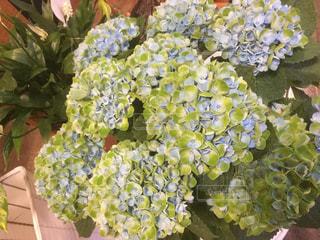 紫陽花の写真・画像素材[582965]