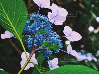 花,青空,青,紫陽花,初夏,梅雨