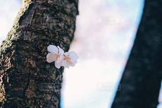 自然,花,春,桜,屋外,花見,サクラ,cherryblossoms,フォトジェニック,祖師ヶ谷公園