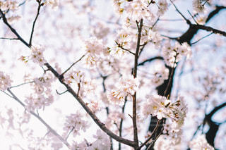 自然,風景,花,春,桜,屋外,花見,景色,サクラ,cherryblossoms,フォトジェニック,祖師ヶ谷公園