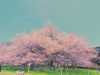 自然,風景,花,春,桜,屋外,花見,景色,サクラ,芦ノ湖,インスタ映え