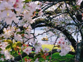 自然,風景,花,春,桜,屋外,ボート,花見,景色,サクラ,芦ノ湖,インスタ映え
