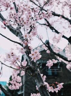 空,花,春,桜,木,ピンク,枝,花見,家,お花見,イベント,桜の花,蔵,さくら,ブルーム,ブロッサム