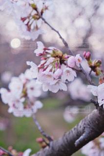 公園,花,春,桜,木,屋外,枝,花見,景色,樹木,お花見,イベント,桜の花,さくら,ブルーム,ブロッサム