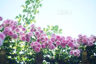 花,ピンク,バラ,薔薇,ローズ,rose,オールドレンズ,pink,花菜ガーデン