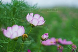 花,ピンク,コスモス,flower,秋桜,オールドレンズ,nature,pink,草木