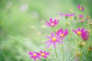 花,ピンク,コスモス,秋桜,オールドレンズ,nature,pink