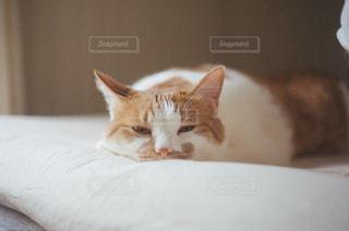 ベッドの上で横になっているオレンジと白猫の写真・画像素材[1240248]