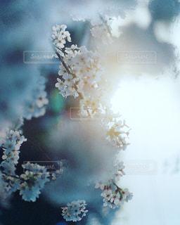 桜日の写真・画像素材[1963719]