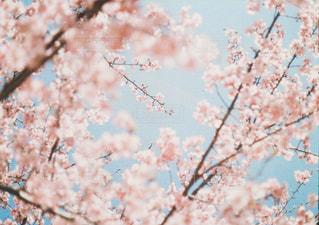 花,春,屋外,枝,鮮やか,樹木,桜の花,さくら,ブロッサム