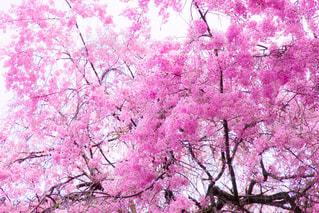 ピンクの花の木 - No.1132148