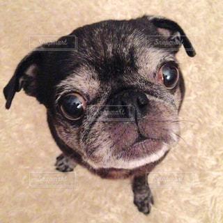 カメラを見て小さな黒い犬の写真・画像素材[982320]