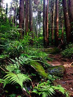 杉林ハイキングの写真・画像素材[798877]