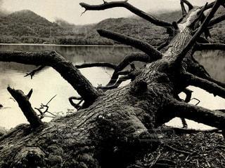 倒れ込む巨木の写真・画像素材[852287]