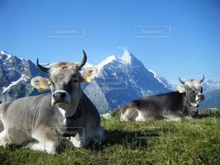 海外,青空,牛,雪山,山,観光,旅行,スイス,海外旅行,うし,ウシ,アイガー