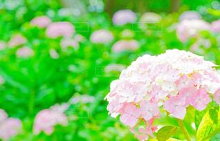 ピンクの写真・画像素材[581232]