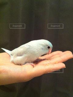 鳥を持っている手の写真・画像素材[722461]