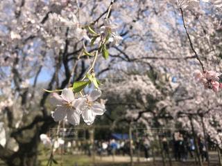 六義園のしだれ桜の写真・画像素材[1133590]