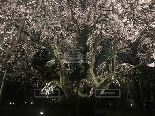 六義園の夜桜の写真・画像素材[1133591]