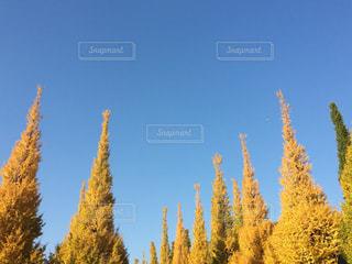 外苑のイチョウ並木の写真・画像素材[1515670]