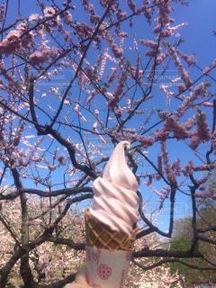 桜の写真・画像素材[606090]