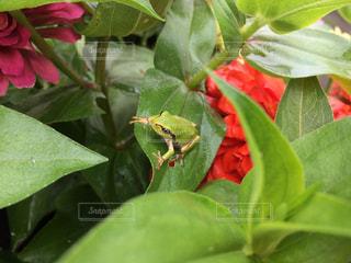 雨やどり中のカエルの写真・画像素材[815905]