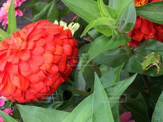 近くに緑の葉と赤い花のアップ - No.815919