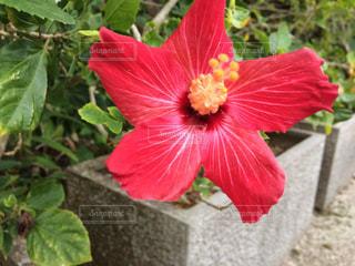花,植物,南国,赤,ハイビスカス,沖縄
