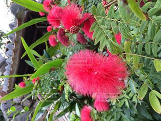 花,植物,南国,赤,沖縄,ベニゴウカン