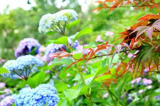 花,屋外,景色,紫陽花,梅雨,草木,カエデ,縮景園