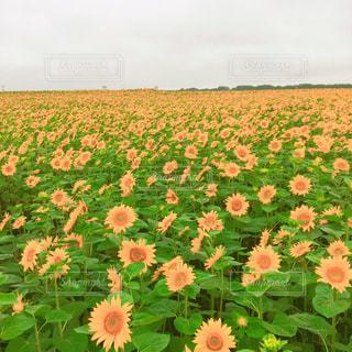 花の写真・画像素材[615936]