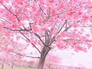 桜の木々の写真・画像素材[1466756]