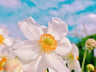 花,花畑,白,コスモス,青空