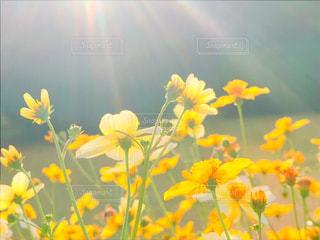 黄色の花の写真・画像素材[1863656]