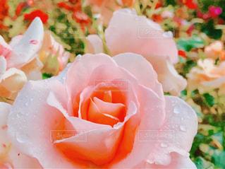 花,屋外,水滴,バラ,満開,雨上がり