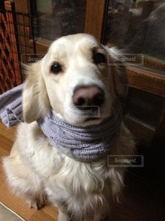 マフラー,愛犬,散歩の準備