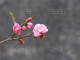 梅のの写真・画像素材[1824825]