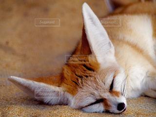 地面に横になっている狐の写真・画像素材[721383]