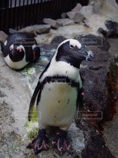 雪の中のペンギンの立っています。 - No.721413