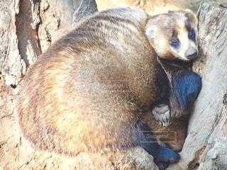 冬,昼寝,仲良し,ふわふわ,動物園,お昼寝,アナグマ,井の頭動物園,ぬくぬく,おしくらまんじゅう