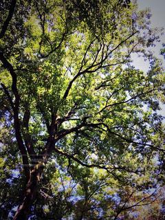 大きな木の写真・画像素材[1166136]