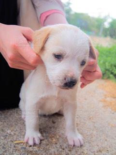 小型犬を持っている手の写真・画像素材[1184696]