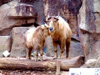 牛はれんが造りの建物の前に立っての写真・画像素材[1185211]