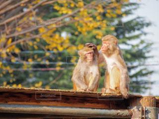 木製の表面の上に座った猿の写真・画像素材[1185271]