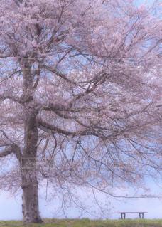 大きな桜の木の写真・画像素材[1122663]