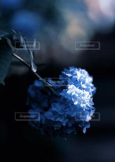 朝陽射し込む紫陽花の写真・画像素材[1407982]