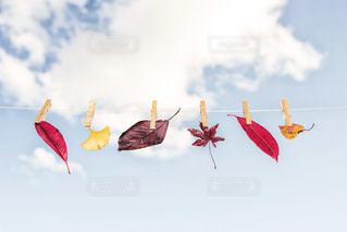 拾って来た小さな秋の写真・画像素材[1611955]