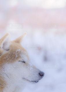 冬,雪,白,柴犬,ホワイト