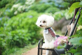 犬,花,雨,屋外,楽しい,紫陽花,愛,トイプードル,梅雨,愛犬,お散歩,大喜び