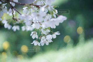風景,花,春,桜,カメラ女子,絶景,河津桜,オールドレンズ,フォトジェニック